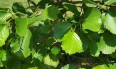 Common Alder - Alnus glutinosa