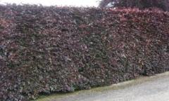 """Copper Beech - Fagus sylvatica """"Purpurea"""""""