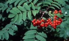 Mountain Ash (Rowan) - Sorbus aucuparia