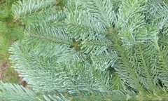 Noble Fir - Abes Nobilis