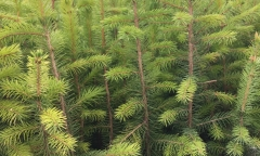 Sitka Spruce - Picea sitchensis