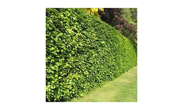 beech-hedging